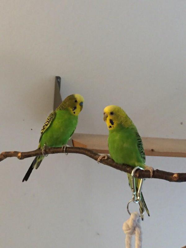zwei grüne Wellis, Henne Spreizbeine