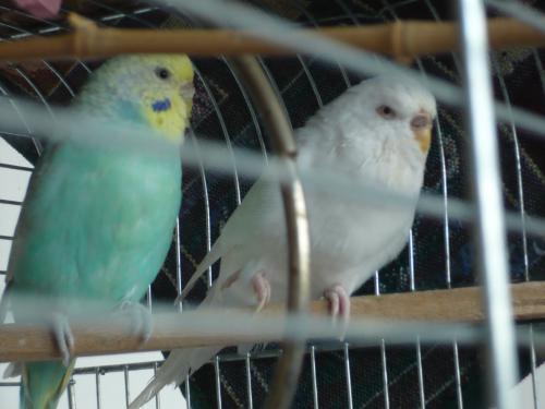 zwei Welli-Hennen im Käfig sitzend
