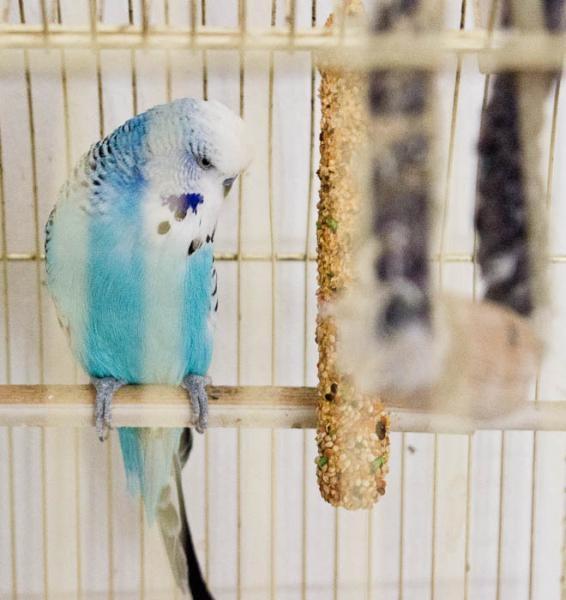 Blauer Pauli