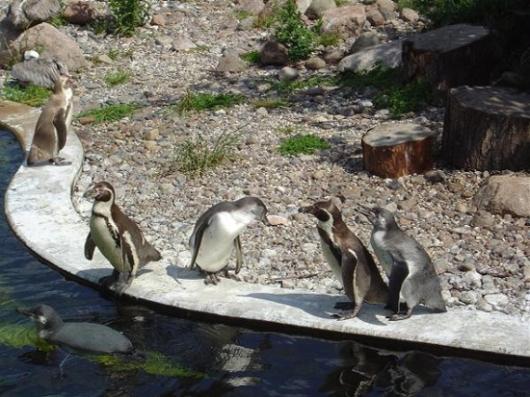 Pingine im Vogelpark Marlow
