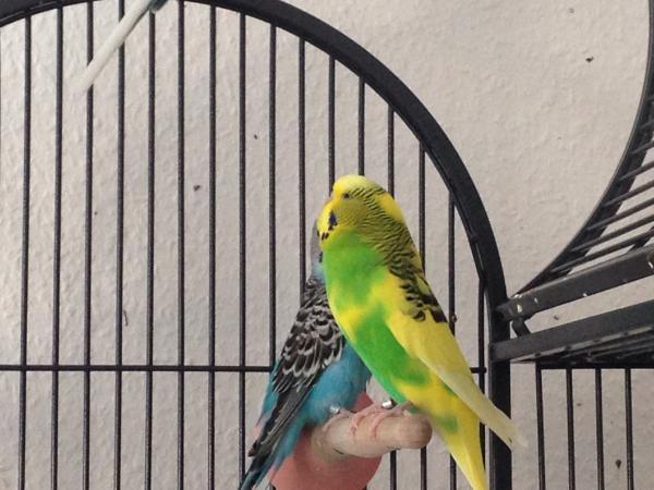 2 Wellis auf geöffnetem Käfig