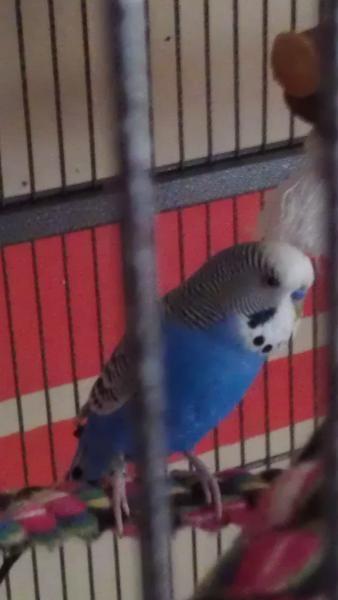 Blauer Hahn auf Sitzseil