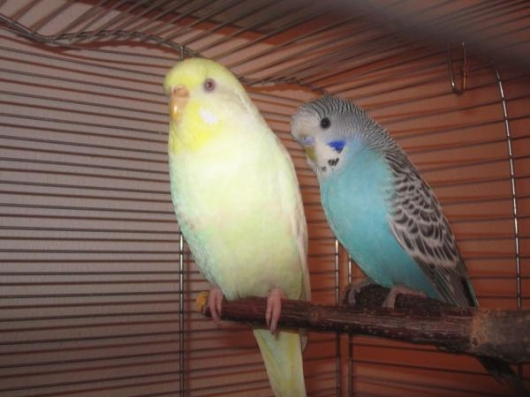 ChinChin und Chicoree im Käfig
