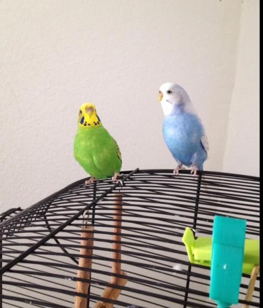 Polly und Lori auf ihrem Käfig