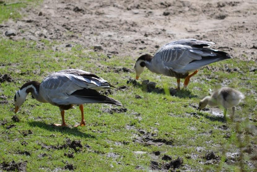 Allwetterzoo Entenfamilie mit Küken