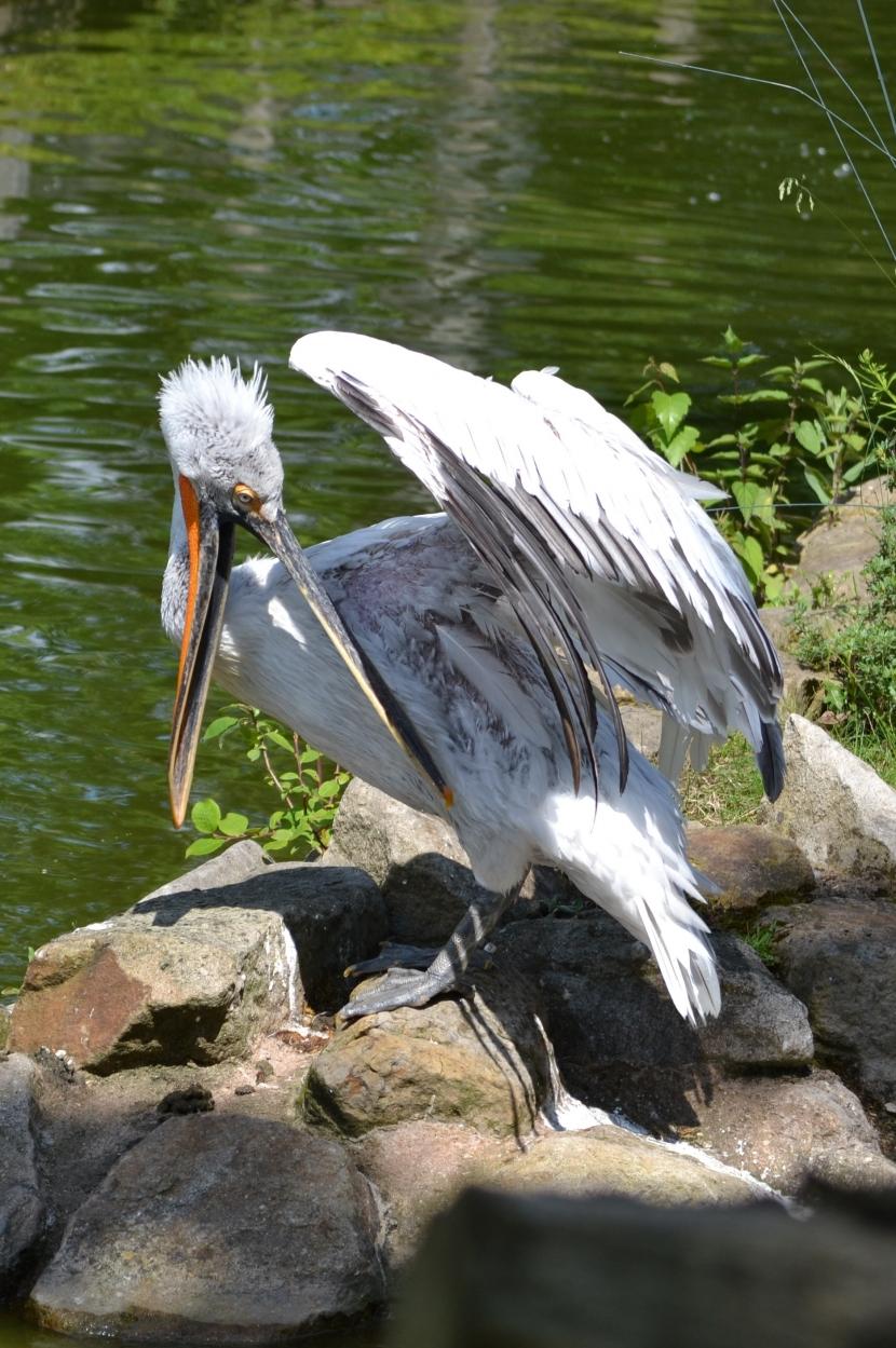 Allwetterzoo Pelikan putzend