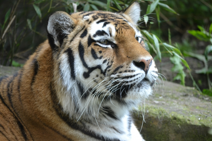 Allwetterzoo Tiger