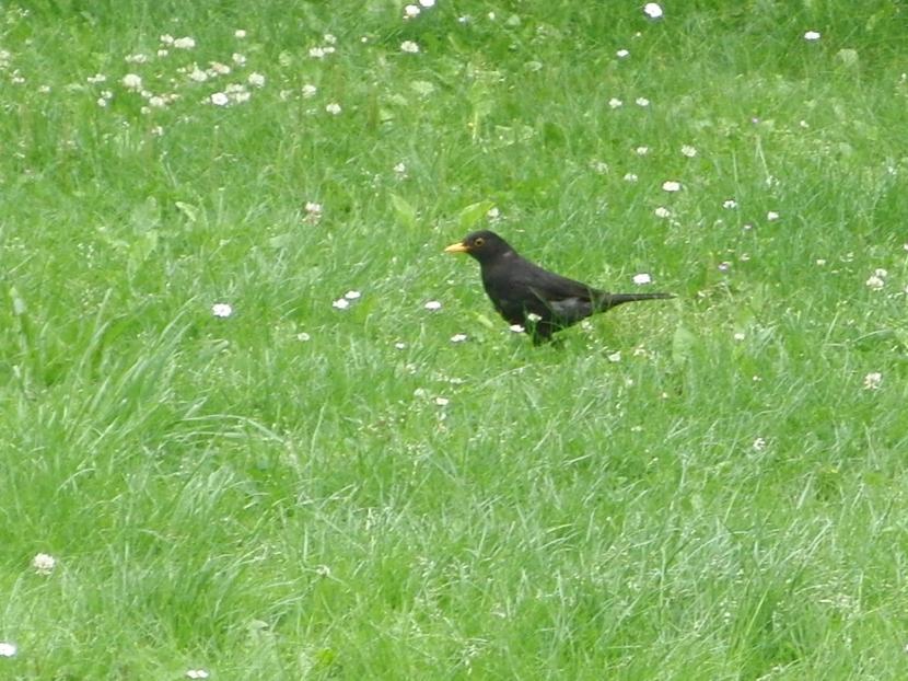 Amsel-Hahn im Gras