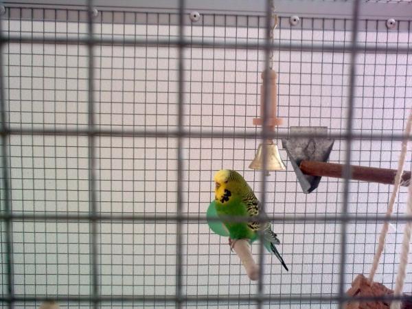 grüne Wellensittich-Henne Megabakteriose