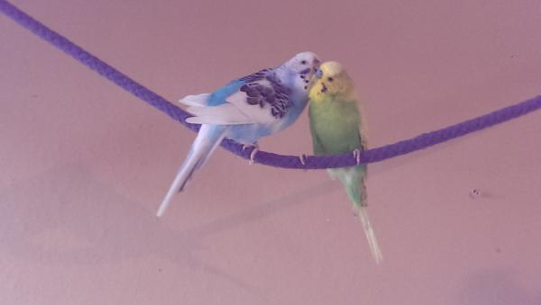 süsses Wellensittich-Paar verliebt am Kraulen