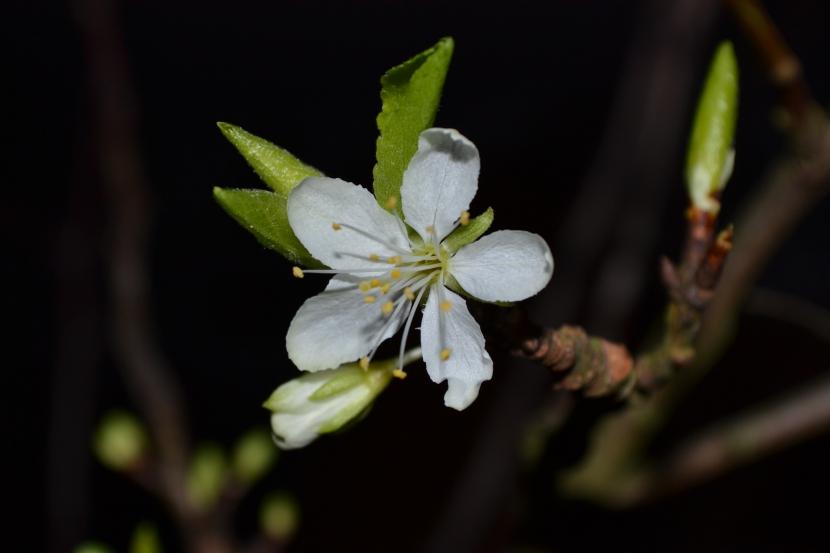 Barbarazweig Blüte