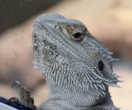 Bartagame in der Reptilienabteilung