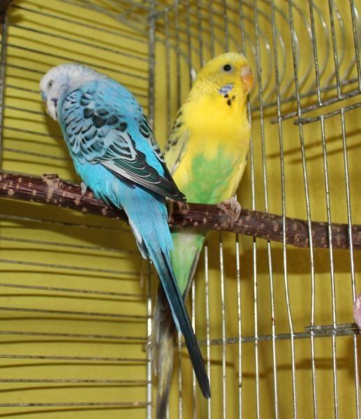 gelbgrüne Wellensittich-Henne zu vermitteln Berlin