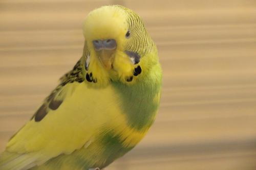 gelb-grüner Wellensittich-Hahn Schecke