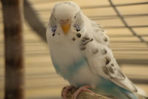 weiß-blaue Schecke Wellensittich-Henne