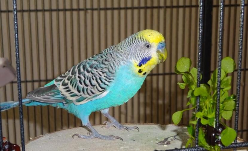 blauer Welli mit Vogelmiere