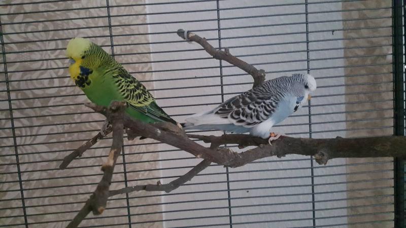 Blaue Henne und grüner Hahn