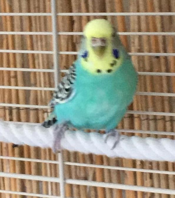 Blaue Henne Lilly
