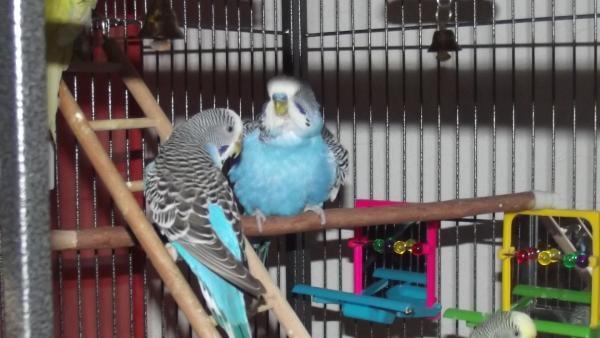 blauer Wellensittich schüttelt Federn