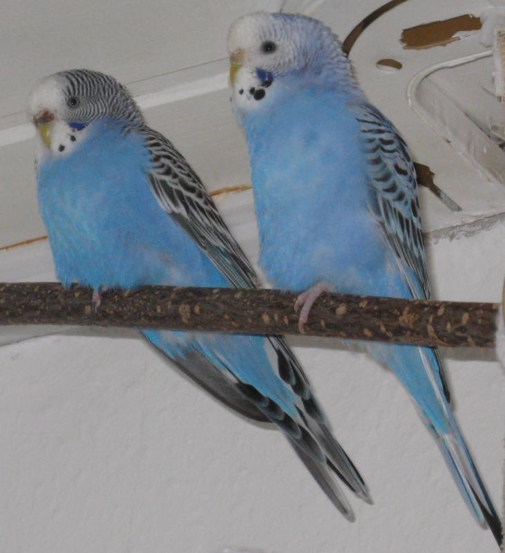 Zwei Wellensittich-Hennen hellblau