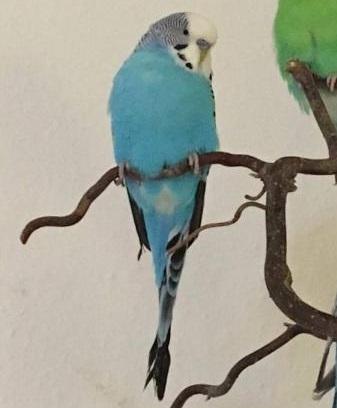 Blauer Hahn Popey