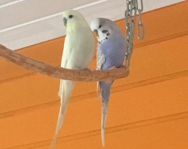 Blauer und gelber Hahn
