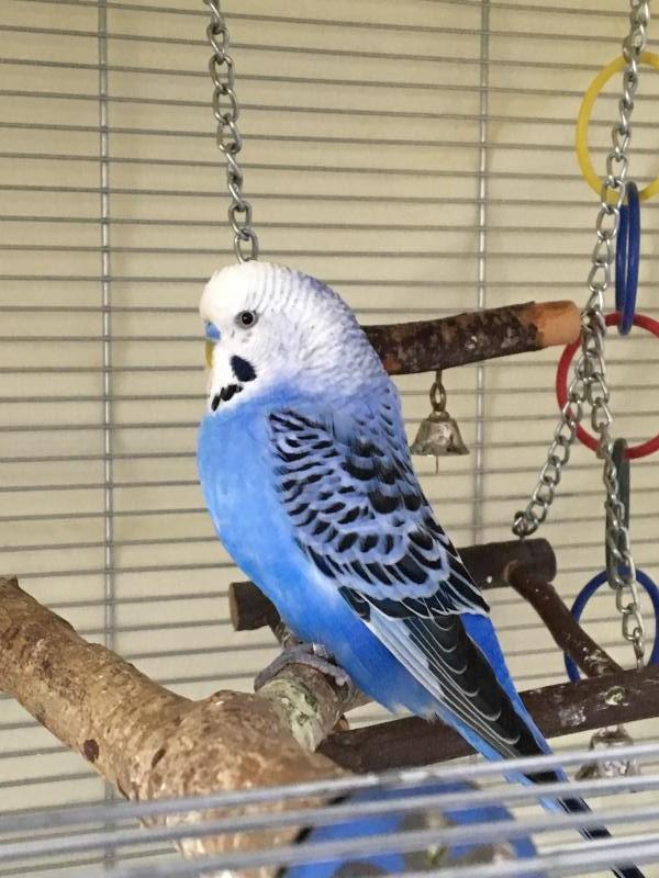 Neo blau gefiederter Hahn