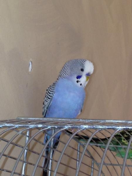 blauer Wellensittich-Hahn sitzt auf rundem Käfigdach