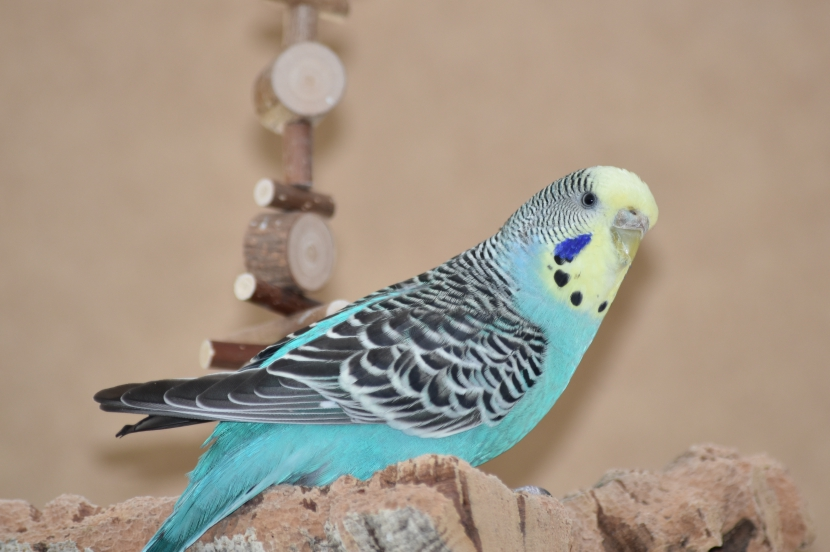 Fipsy blaues Gelbgesicht