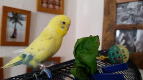 Bommel am Salatblatt