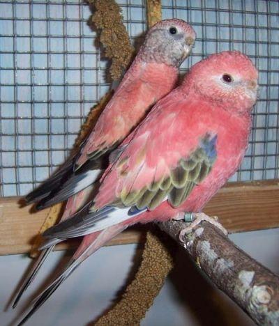 rosa Bourkesittiche