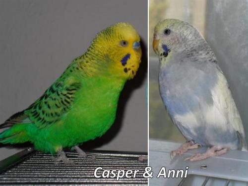 Budgie Casper und Anni Wellensittichpaar KW 09 - 17