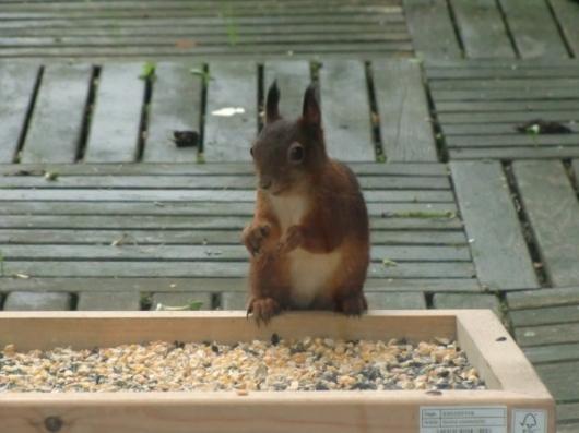 Eichhörnchen am Futtertisch