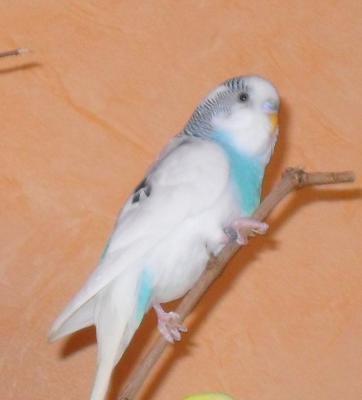 weiß-blauer Cookie
