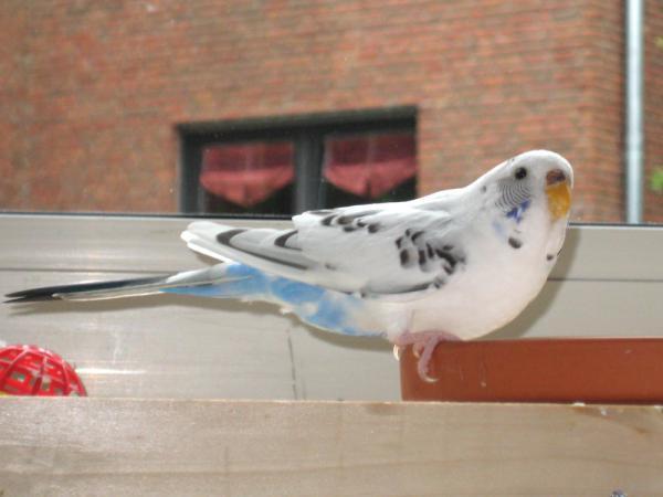 weiß-blaue Wellensittich-Henne frisst aus Tonschale
