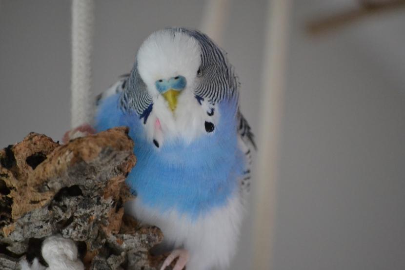 blauer Schecke auf Korkschaukel