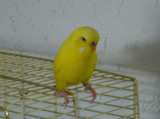 gelbe Wellensittich Henne sucht Zuhause
