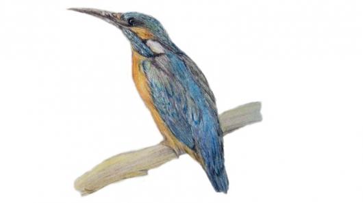 Zeichnung Eisvogel