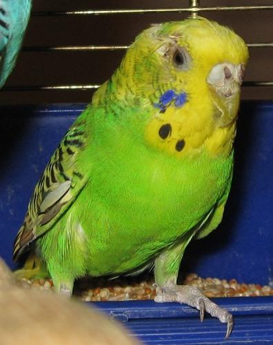 Wellensittich Aditi im Januar 2009 noch sichtbar mitgenommen