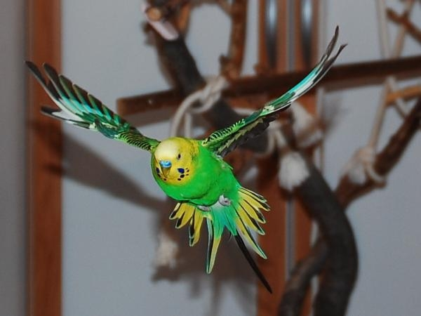 fliegender grüner Welli