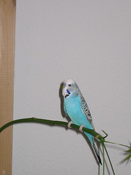 hellblauer Wellensittich-Hahn sitzt auf Pflanze