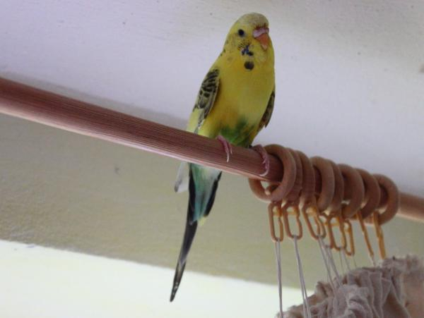 gelb-grüne Wellensittich-Henne sitzt auf Gardinenstange