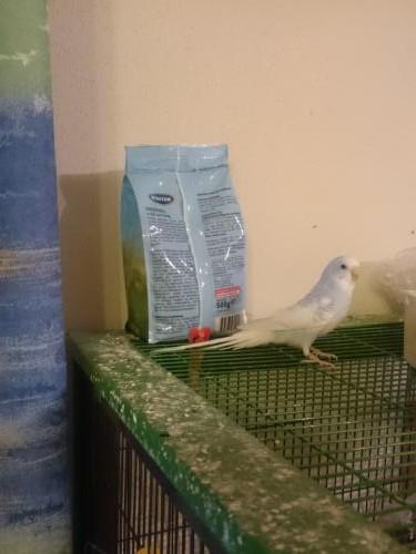 Hellblaue Henne auf Käfigdach
