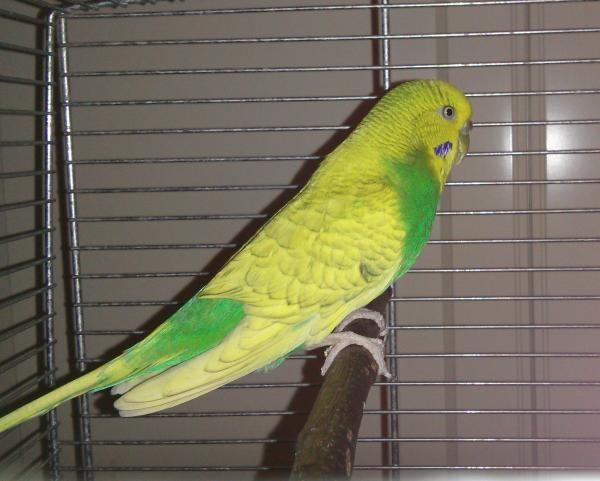 Wellensittich-Henne gelb-grün
