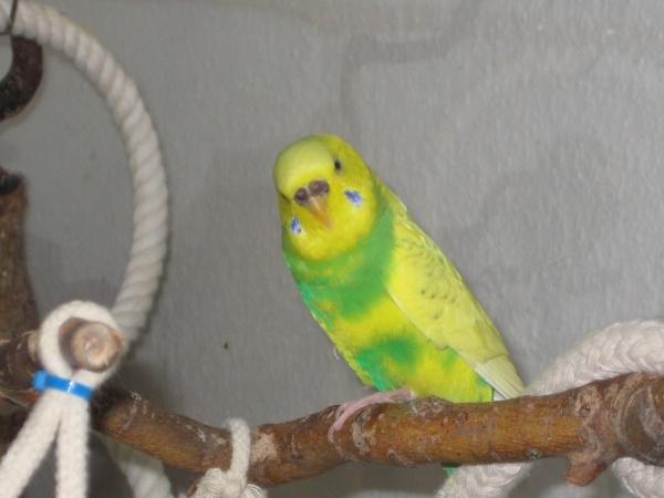 Wellensittich-Henne schaut neugierig