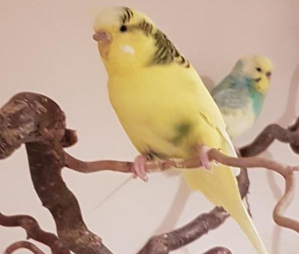 Gelbe Henne