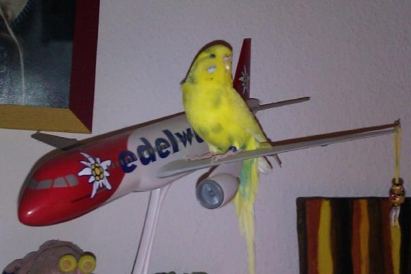 gelbe Wellensittich-Henne auf einem Flugzeug