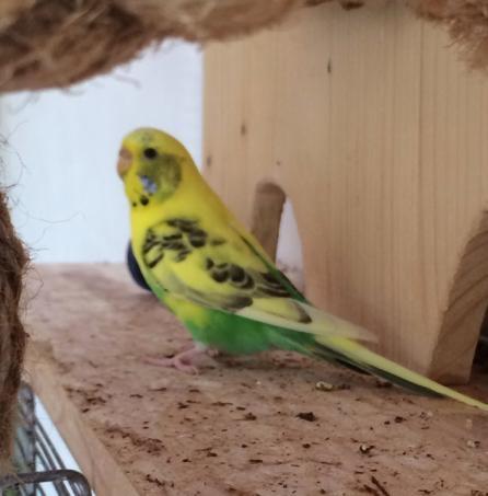 Wellensittich-Henne auf Holzbrett