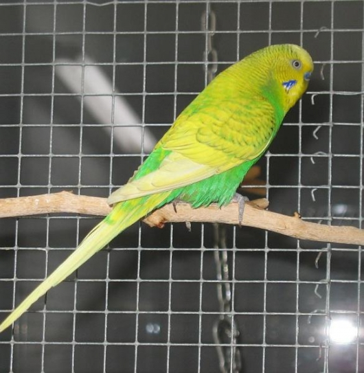 gelbgrüner Wellensittich-Hahn