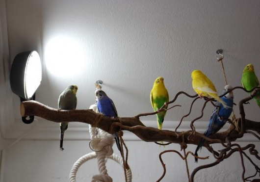 Wellensittiche mit Birdlamp